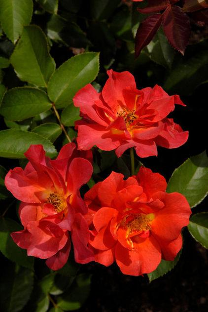 How to Decorate Your Garden with Beautiful Red Roses Shrub in the Garden