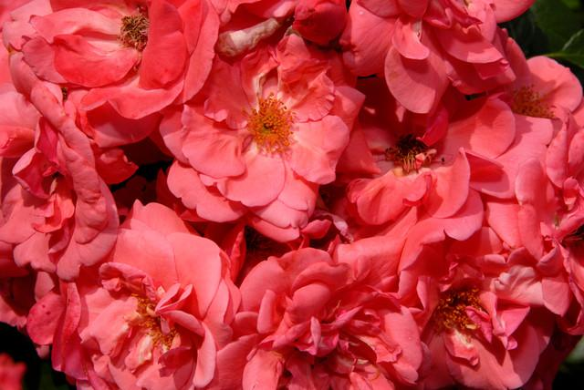 How to Decorate Your Garden with Romantic Red Roses Shrub Growing Outdoors