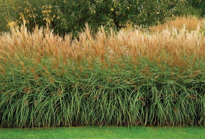 Hedge fence made of ornamental grasses Decorative Ideas, Tips and Examples