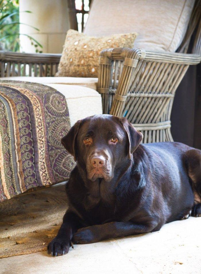 Chocolate Labrador in a rustic interior - How the Dogs fit in our Home