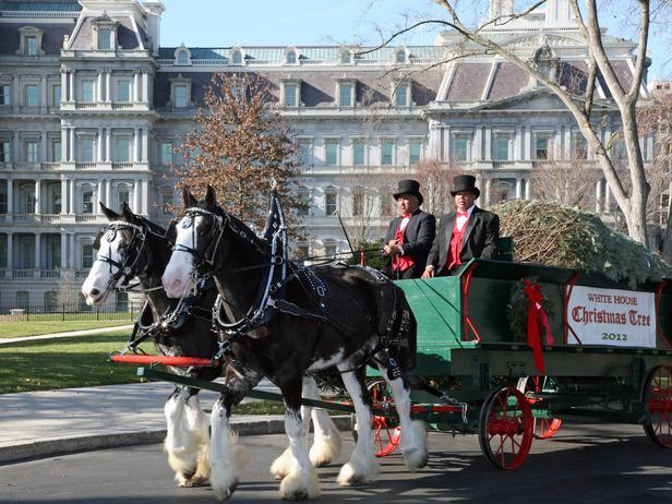 Horse carriage carrying a Christmas tree for the White House - Holiday Ideas from America's First Home