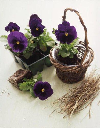 Easter basket full of pansy planters