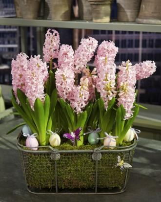 Easter basket full of pink hyacinth flowers