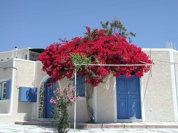 Beautiful Mediterranean tree growing in front of a white house and its entrance door