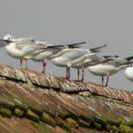 Why Birds Are Nesting In Your Roof & How to Prevent